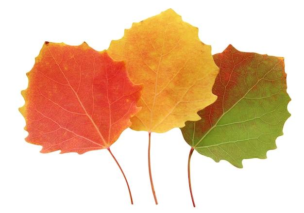 Trzy jesienne liście osiki na białym tle. jesienne pomarańczowe liście.