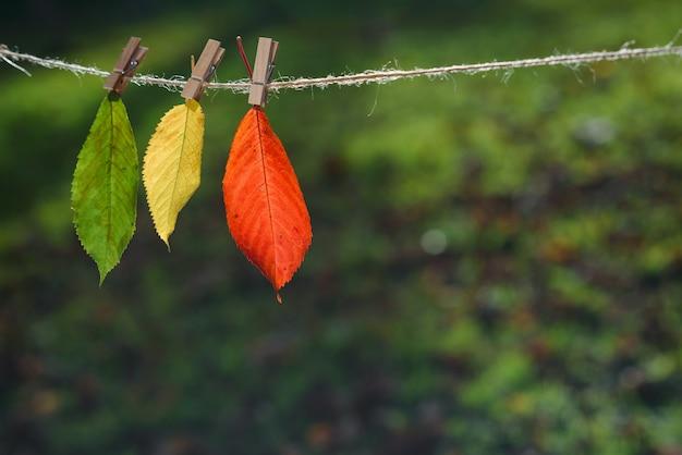 Trzy jesienne liście zielony, żółty, czerwony na drewnianych spinaczach do bielizny i koronce.