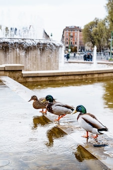 Trzy kaczki piją wodę z fontanny