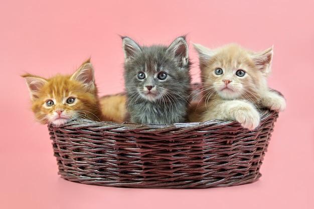 Trzy kocięta maine coon w koszyku