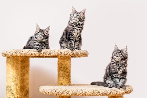 Trzy kocięta maine coon z długim, puszystym ogonem siedzą na drapaku pod jasną ścianą