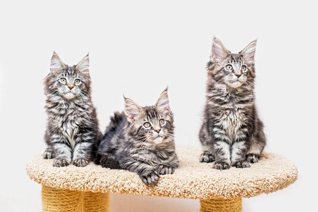 Trzy kocięta rasy maine coon z długim puszystym ogonkiem siedzące na drapaku przy jasnej ścianie
