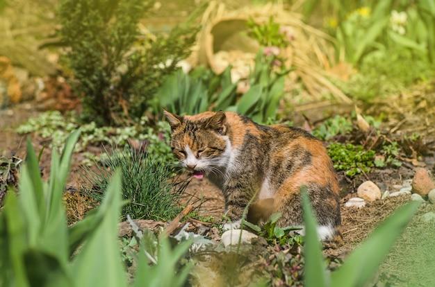 Trzy kolorowe kot siedzi w trawie. trójkolorowy lizawek z pysznym językiem. kot perkal siedzi w ogrodzie i głaszcze wargi językiem.