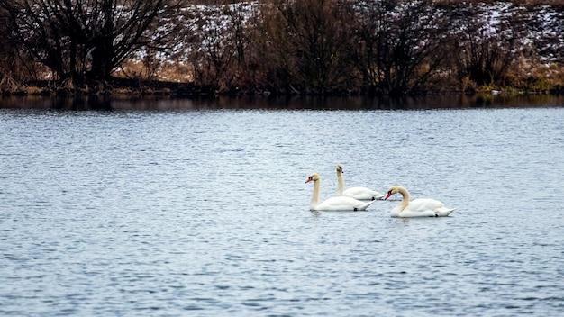 Trzy łabędzie pływają po rzece w chłodną jesień