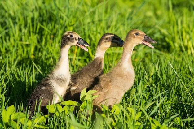 Trzy małe domowe szare kaczątko siedzi w zielonej trawie.
