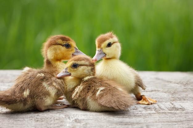 Trzy małe kaczątko, zwierzęta domowe, zielona trawa w tle