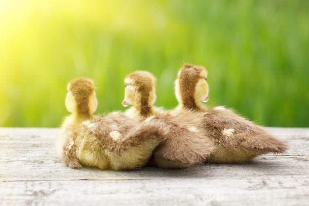 Trzy małe kaczki, zwierzęta domowe, z miękkim słońcem i zieloną trawą