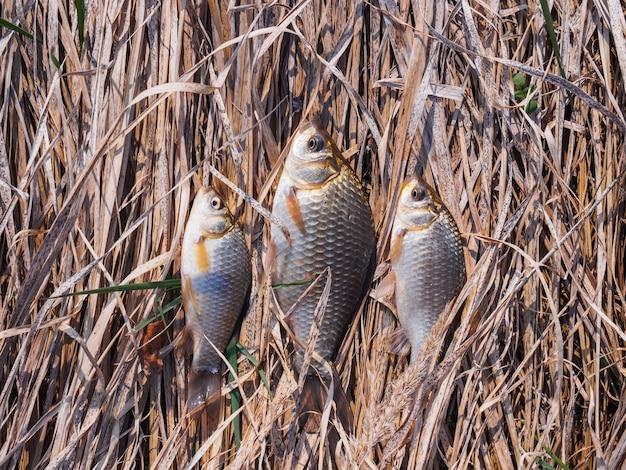 Trzy małe karaśki leżą na ziemi na suchej trawie