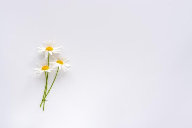 Trzy małe kwiaty rumianku na białym tle