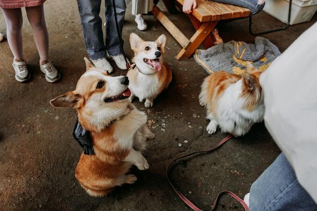 Trzy małe psy siedzą na zewnątrz. trzy słodkie corgi na smyczy. wystawa psów