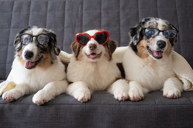 Trzy małe słodkie owczarek australijski czerwony niebieski merle trzy kolory szczeniak w okularach.