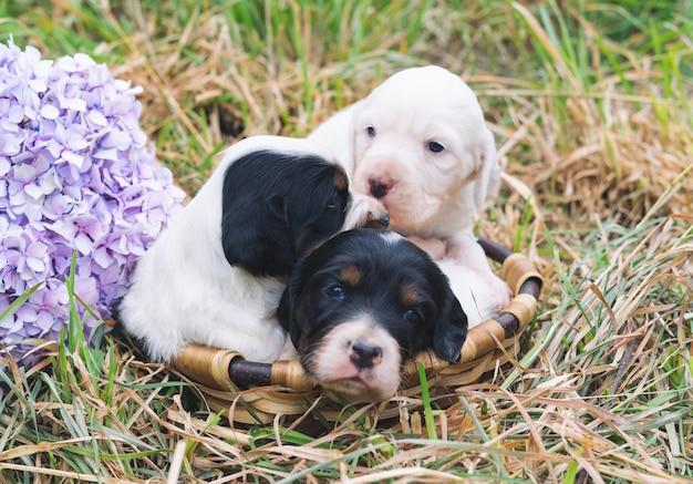 Trzy małe szczenięta setera angielskiego w koszu na trawie z kwiatem hortensji.