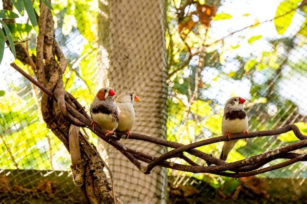 Trzy małe zięby na gałęzi w szkółce ptaków. zdjęcie wysokiej jakości