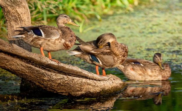 Trzy męskie dzikie kaczki siedzi na kłodzie w rzece.