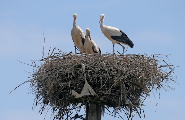 Trzy młode bocian biały gotowy do lotu z gniazda
