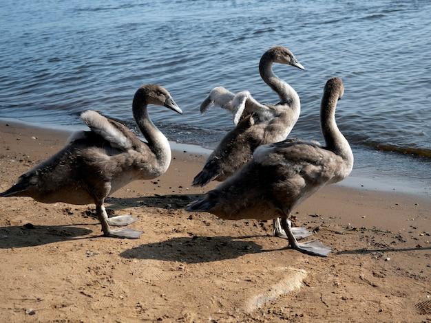 Trzy młode szare łabędzie na nabrzeżu