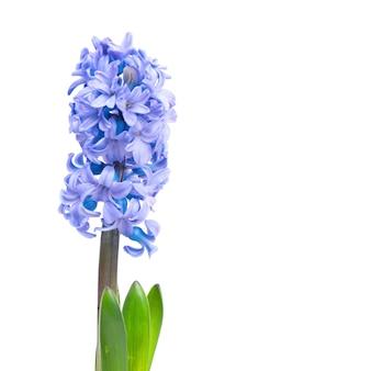Trzy niebieskie kwiaty hiacynty z zielonymi liśćmi