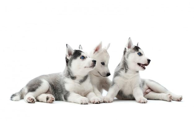 Trzy niosły szczenięta syberyjskich husky, siedząc na podłodze, leżąc, czekając na jedzenie, odwracając wzrok. śliczne, urocze psy grupowe o biało-szarym futrze, niebieskich oczach, jak wilk.