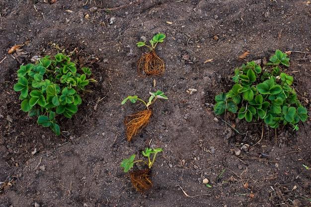 Trzy nowe sadzonki truskawek z korzeniami leżą na skrawku ziemi w ogrodzie w pobliżu dwóch dużych zielonych krzewów truskawek. ścieśniać