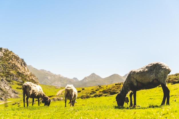 Trzy owce jedzenia trawy w górach.