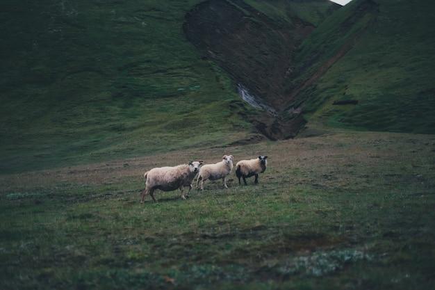 Trzy owce stojące wśród zielonych wzgórz w ponury dzień