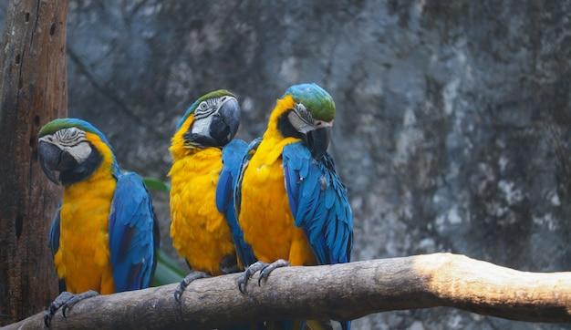 Trzy papugi ara mają piękny kolor na gałęzi