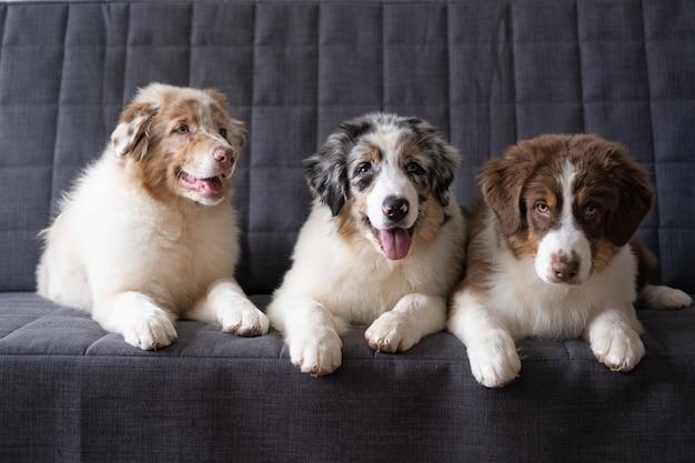 Trzy piękne małe słodkie owczarki australijskie red merle szczeniak. trzy kolory. najlepsi przyjaciele. na kanapie.