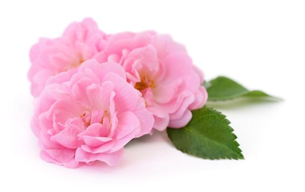 Trzy piękne różowe róże na białym tle.