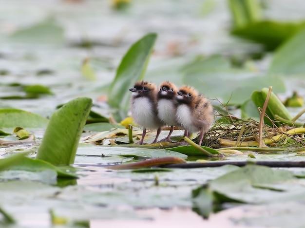 Trzy pisklęta rybitwy wąsatej na gnieździe.