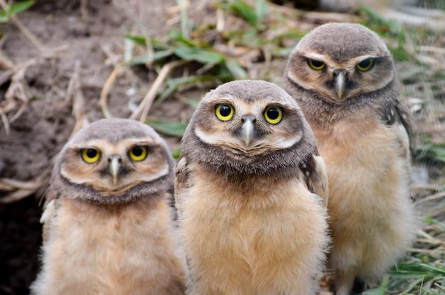 Trzy pisklęta sowy w gnieździe