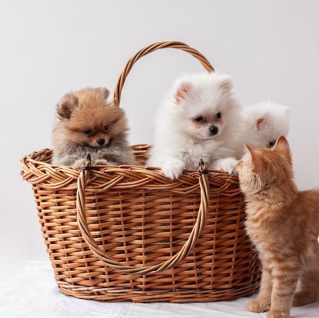 Trzy pomorskie szczenięta, dwa białe i jeden sobolowy, siedzą w koszyku obok rudego pręgowanego kociaka