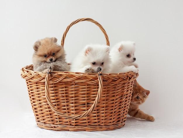 Trzy pomorskie szczenięta siedzą w koszyku, a od tyłu wygląda rudy pręgowany kotek