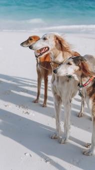 Trzy psy chodzi na wybrzeżu ocean indyjski