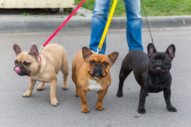 Trzy psy domowe rasy buldog francuski