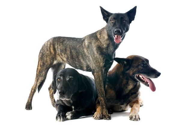 Trzy psy na białym tle