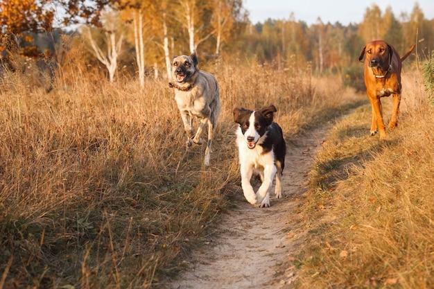 Trzy psy rhodesian ridgeback, border collie i hollandse pasterz walczą razem galop na jesiennym suchym polu w dzień zachodu słońca.