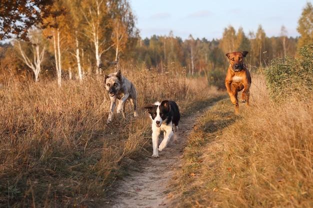 Trzy psy rhodesian ridgeback, border collie i hollandse pasterz walczą razem w galopie na jesiennym suchym polu
