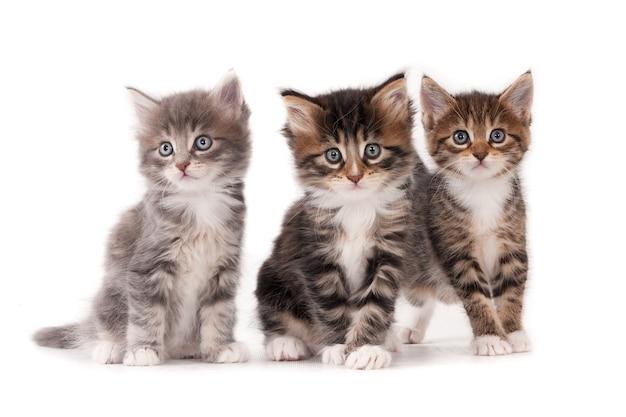Trzy puszyste kocięta na białym tle