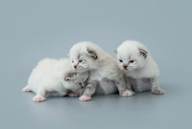 Trzy puszyste kocięta ragdoll siedzi razem blisko na białym tle na jasnoniebieskim tle z copyspace. piękny portret małych kotów rasy słodkiej w studio