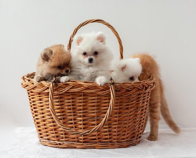 Trzy puszyste szczenięta pomorskie, dwa białe i jeden sobolowy, siedzą w koszyku za rudym kociakiem