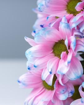 Trzy różowe i niebieskie kwiaty chryzantemy