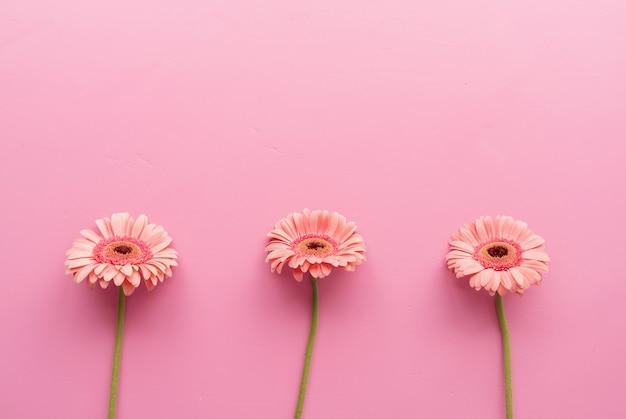 Trzy różowe stokrotki gerbery w surowym na różowym tle. sekwencja i symetria. minimalna konstrukcja płaska. pastelowe kolory