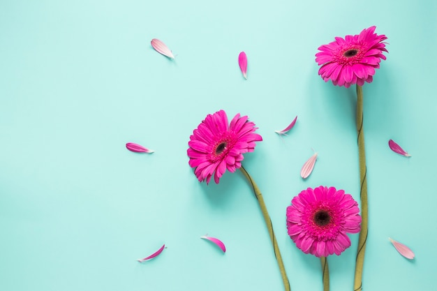 Trzy różowego gerbera kwiatu z płatkami