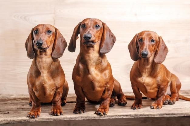 Trzy rude psy jamnikowe