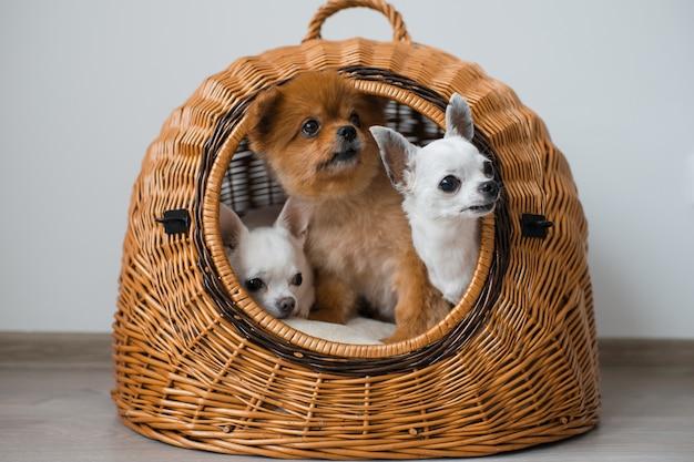 Trzy śliczne i urocze szczenięta pies chihuahua i pies pomorski o śmiesznych twarzach wyglądających z wiklinowego domu psa
