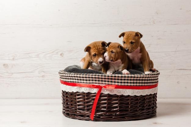 Trzy śliczne szczeniaki basenji w koszyku