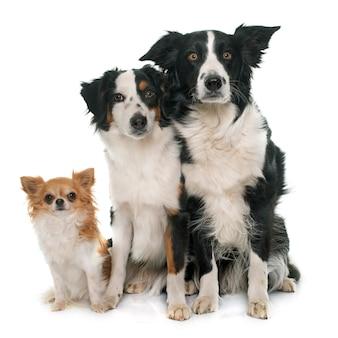 Trzy słodkie psy