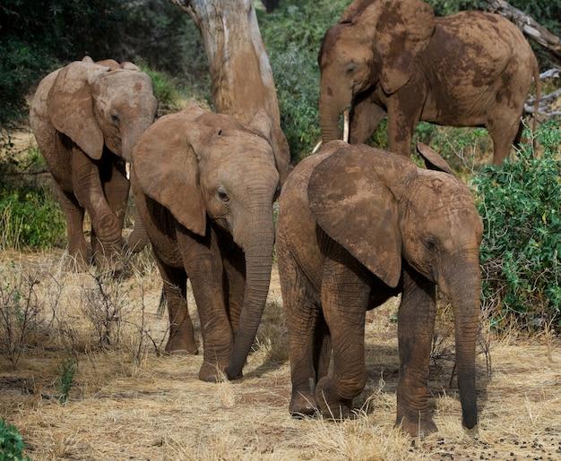 Trzy słoniątka idą do siebie.