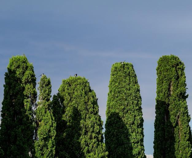 Trzy sroki ustawione na wierzchołkach drzew