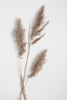 Trzy suche gałęzie trawy pampasowej leżały płasko na białym tle